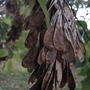 Ash - leaf Maple seeds (Acer negundo)