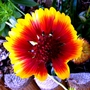 Gaillardia aristata (Blanketflower)