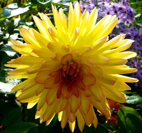 Another yallow dahlia