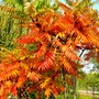 Rhus typhina (Stag's horn sumach)