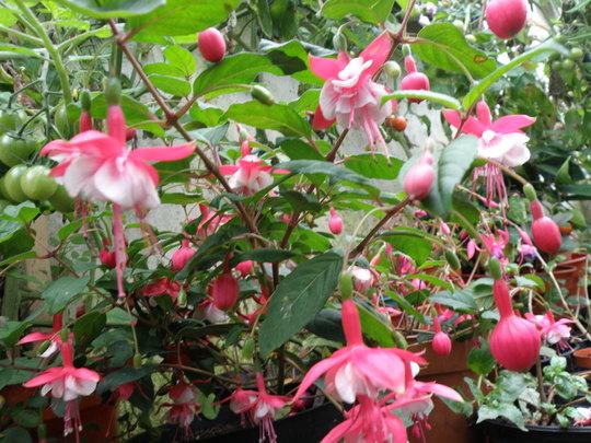 fuchsia springtime