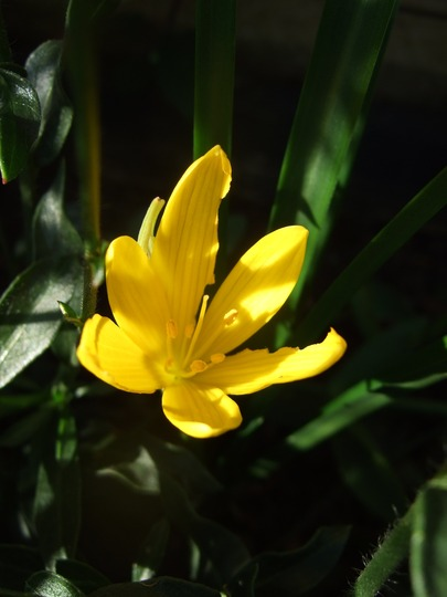 Sternbergia lutea (Sternbergia Lutea)