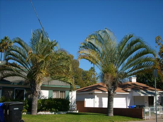 Dypsis decaryi - Triagle Palms (Dypsis decaryi - Triagle Palms)