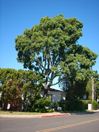 Podocarpus gracilior - Fern Pine (Podocarpus gracilior - Fern Pine)