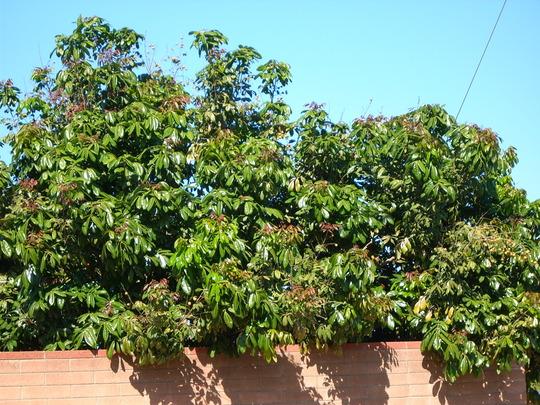 Dimocarpus longan - Longan Tree/Dragon Eyes (Dimocarpus longan - Longan Tree/Dragon Eyes)