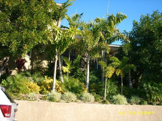 Wodyetia bifurcata/Wodveitchia - Foxtail Palm/Foxy Lady Palm (Wodyetia bifurcata/Wodveitchia - Foxtail Palm/Foxy Lady Palm)