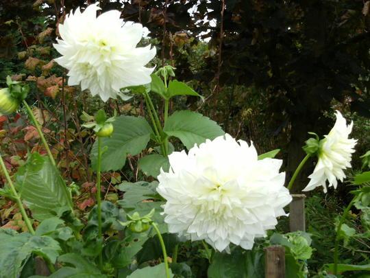 Dahlia Fleur  still flowering Oct. 08