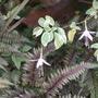 Fuchsia and painted fern (Fuchsia)