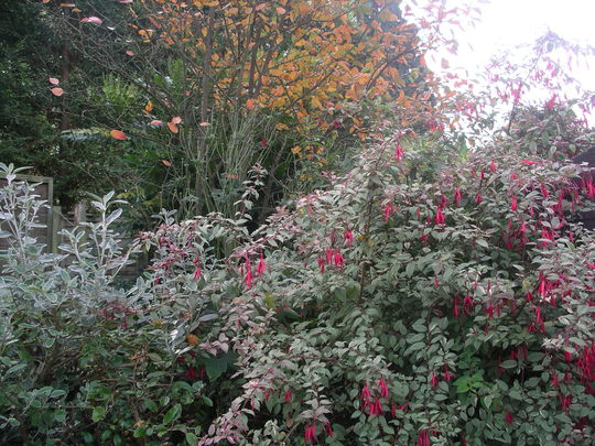 Fuchsia  magellanica Tricolor and Amelanchier