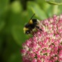 Bee enjoying Sedum (Sedum anglicum (English Stonecrop))