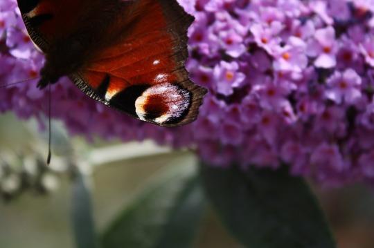 Butterfly enjoying Buddlia (Buddleia davidii 'Empire Blue')