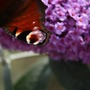 Butterfly enjoying Buddlia (Buddleia davidii &#x27;Empire Blue&#x27;)