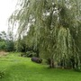 Weeping Willow (Salix Sepulcralis Chrysocoma (Weeping Willow))
