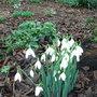 Galanthus nivalis (Galanthus nivalis)