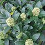 Skimmia_fragrant_cloud_a