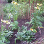 Echinaceas_in_bed