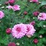 Pink_chrysanthemums