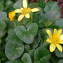 Celandines in the lane