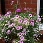 Hanging basket - June 2006