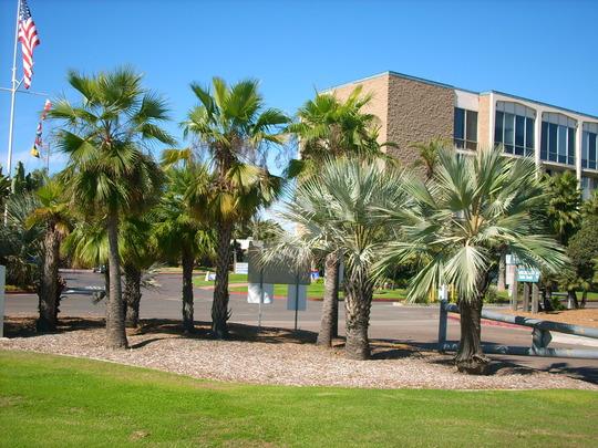 Brahea dulcis/Brahea armata - Sombrero Palm/Mexican Blue Palm (Brahea dulcis/Brahea armata - Sombrero Palm/Mexican Blue Palm)