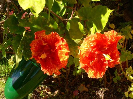 Hibiscus rosa-sinensis - Hibiscus (Hibiscus rosa-sinensis - Hibiscus)