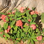 Euphorbia milii - Crown of Thorns (Euphorbia milii - Crown of Thorns)