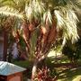 Phoenix roebellenii 'Monstrose' - Pigmy Date Palm  (Phoenix roebellenii 'Monstrose' - Pigmy Date Palm)