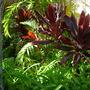 Cordyline termnalis - Ti Leaf Plant (Cordyline termnalis - Ti Leaf Plant)