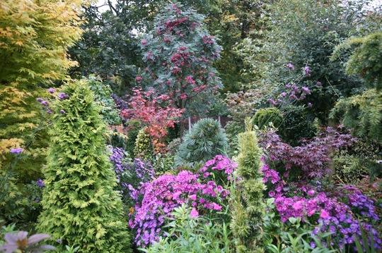 Lower garden Asters October 15