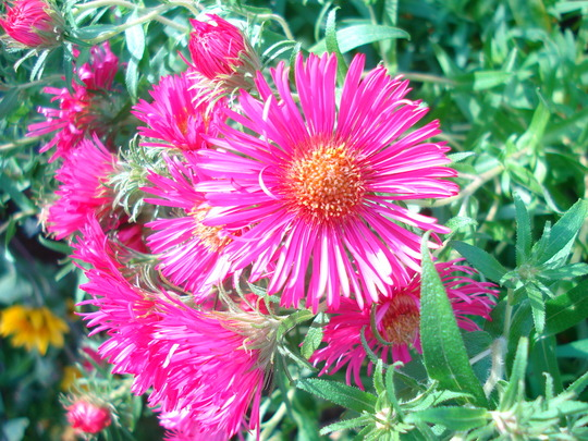Aster (Aster amellus (Aster))