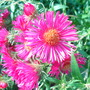 Aster amellus (Aster)