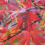 Japanese Maple 'Takinogawa' (Acer palmatum Takinogawa)