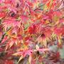 Japanese Maple in October (Acer Palmatum Takinogawa)