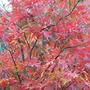 Takinogawa Japanes Maple (Acer Palmatum takinogawa)