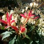 One of my Pieris