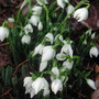 first_Snowdrops.jpg (Galanthus)