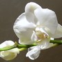 Last Pic Of  White Orchid Promise :)