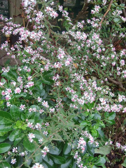 Aster lateriflorus 'Lady in Black' (Aster lateriflorus (Lady in Black))