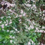 Aster_latifolius_lady_in_black_plant
