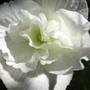 Close up of White Begonia