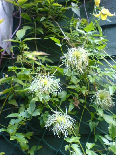 fluffy clematis (clematis tangutica)