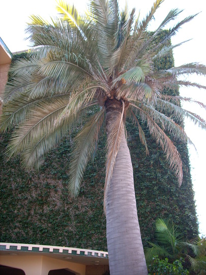 Jubaea chilensis - Chilean Wine Palm (Jubaea chilensis - Chilean Wine Palm)