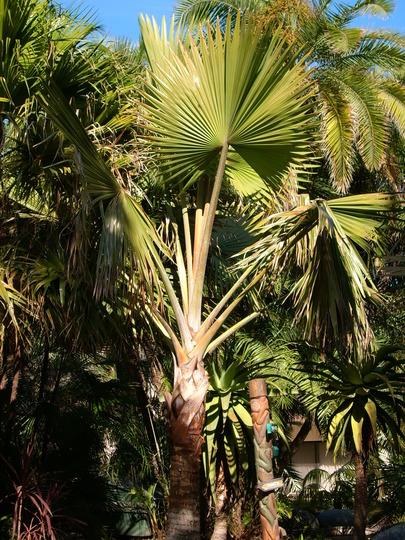 Bismarckia nobilis - Bismarck Palm (Green Form) (Bismarckia nobilis - Bismarck Palm (Green Form))