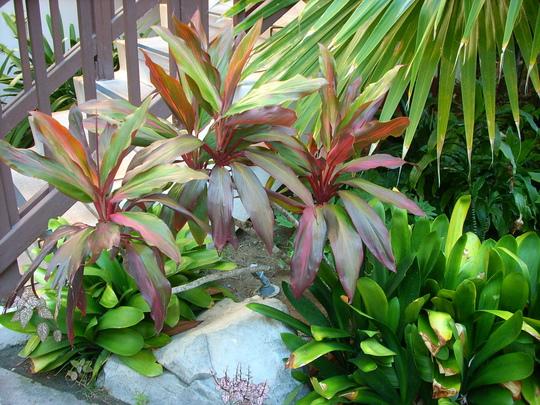 Cordyline termnalis/Clivia miniata (Cordyline termnalis/Clivia miniata)