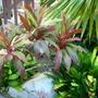 Cordyline termnalis/Clivia miniata
