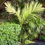 Areca triandra - Triandra Palm (Areca triandra)