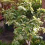 Ficus aspera - Clown Fig (Ficus aspera)