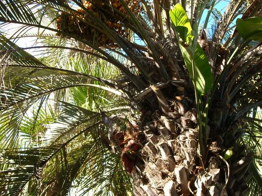 Butia capitata - Jelly Palm (Butia capitata)