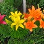 Lillies_210906_4