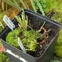 A garden flower photo (Sarracenia flava)